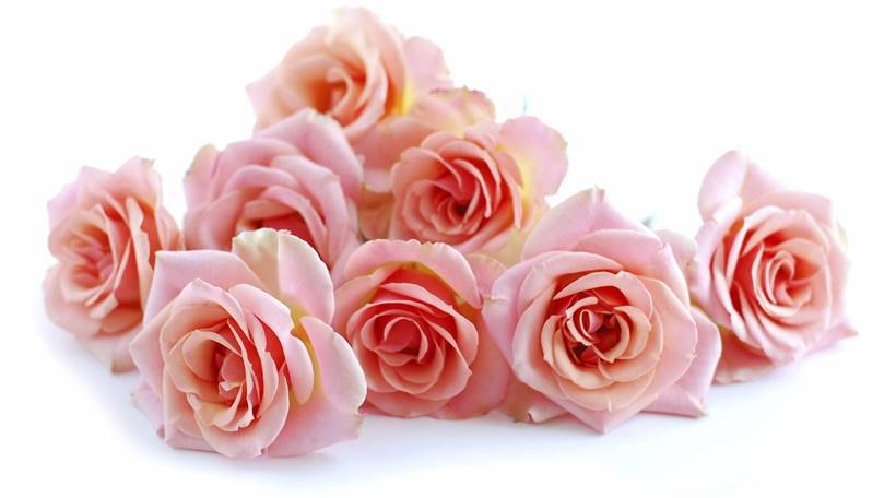 Pile of pink rose blossoms on white background